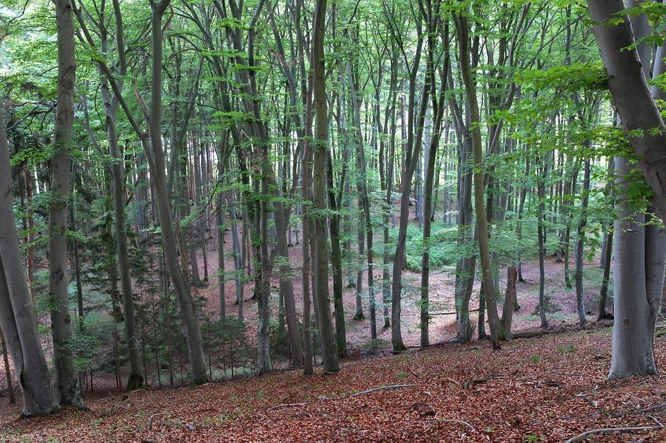 Deciduous Forest, Forest, Trees, Nature, Landscape