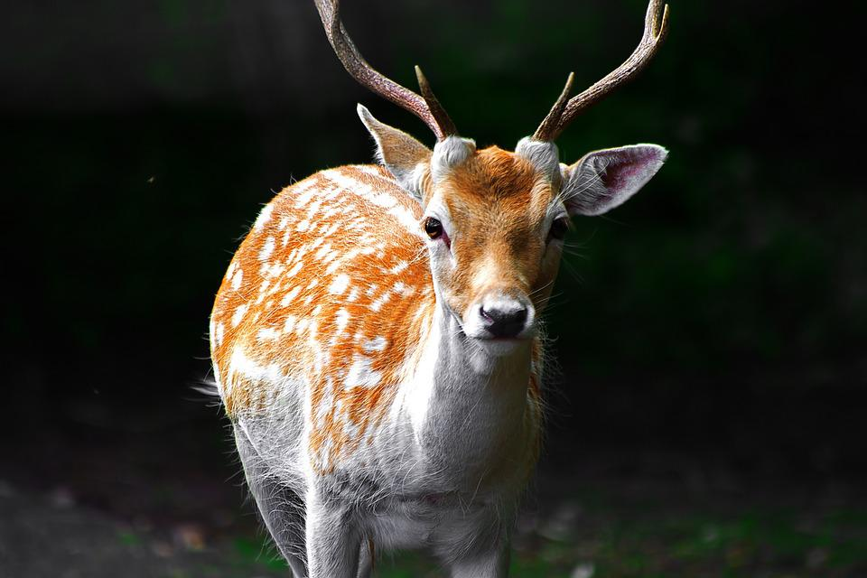 Free photo: Deer, Stag, White, Red, Mammal - Free Image on Pixabay ...