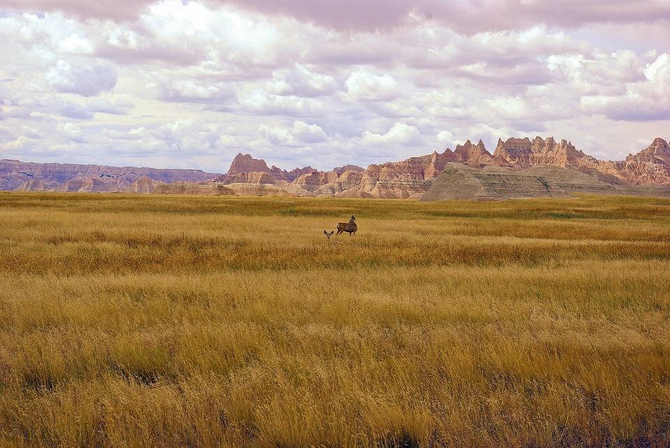 Deer In Badlands Grass, Deer, Grass, Nature, Wildlife