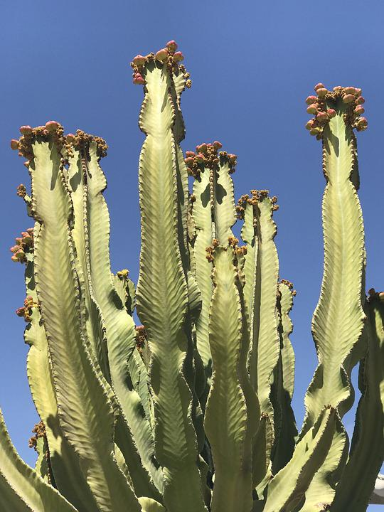 Cactus, Cacti, Desert, Nature, Plant, Flower, Botanical