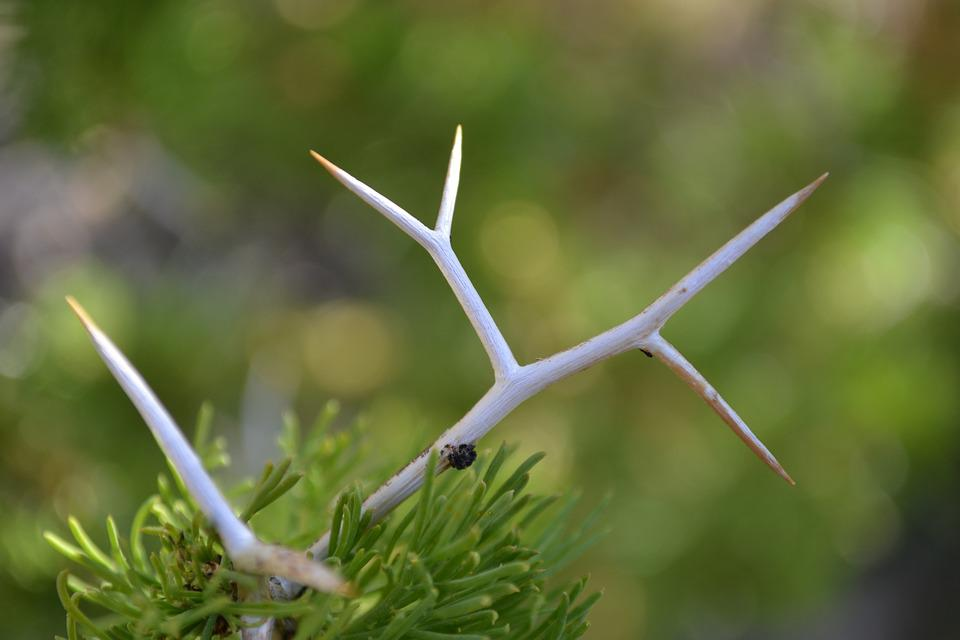 Thorn, Cactus, Pinch, Desert, Plant, Green, Nature