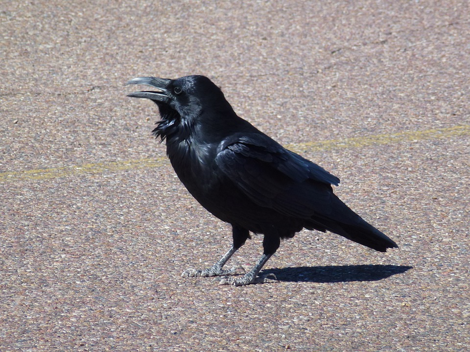 Raven, Desert, Arizona, Bird, Nature, Wildlife, Black