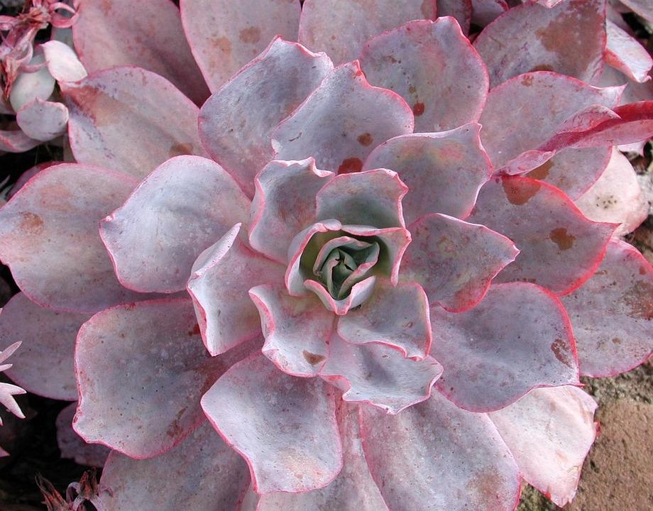 Flower, Desktop, Nature, Flora, Color, Succulent