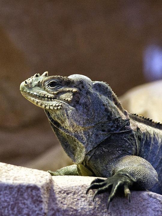 Iguana, Reptile, Dinosaur, Animal, Fauna, Nature