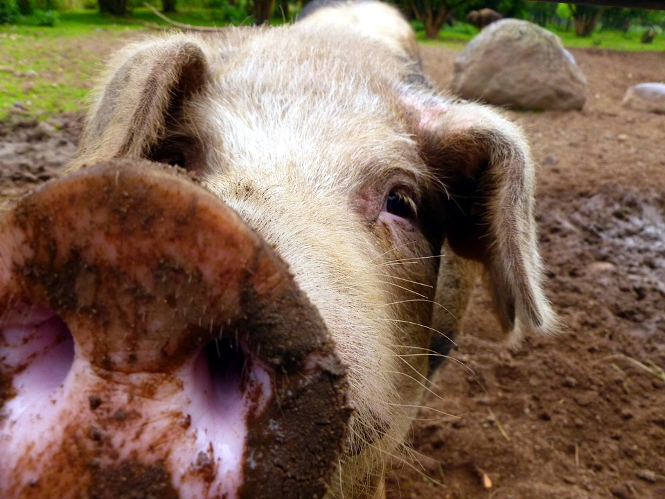 Pig, Sow, Mammal, Livestock, Animals, Nature, Dirty