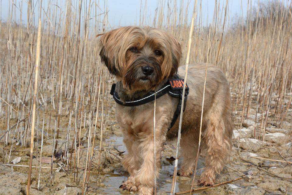 Dog, Tibetan Terrier, Pet, Nature, Portrait, Cute
