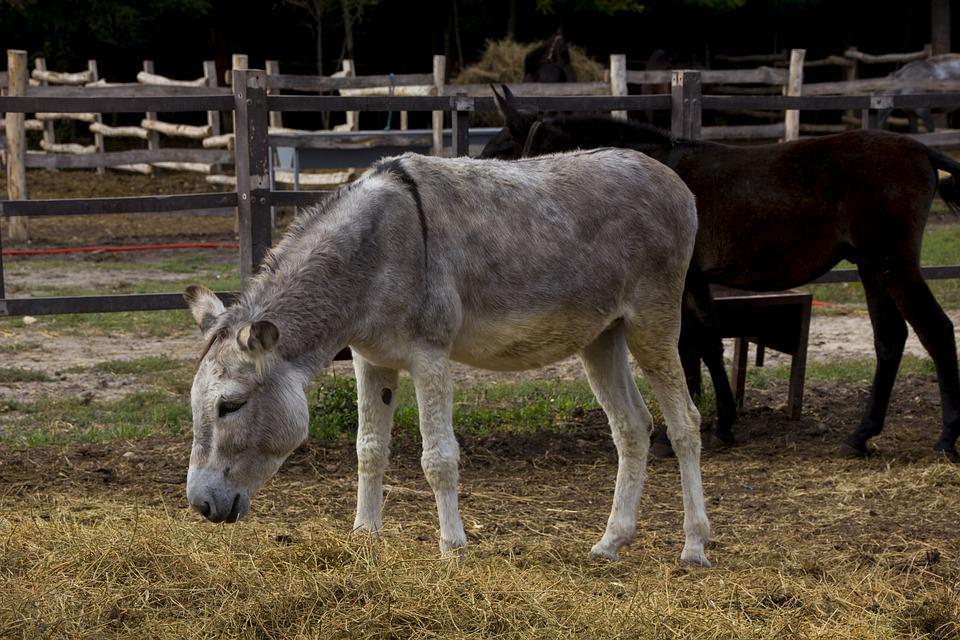 Hungary, Donkey, Tourism, Nature, Agriculture