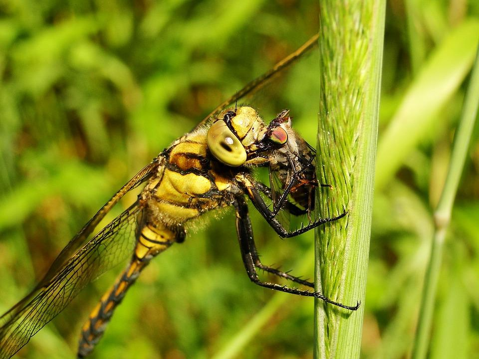 Insect, Nature, Animals, Dragonflies Różnoskrzydłe