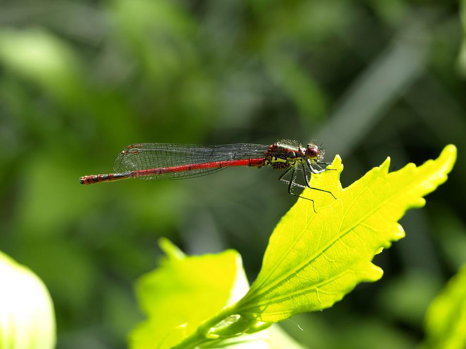 Dragonfly, Red, Insect, Flight Insect, Wing, Nature
