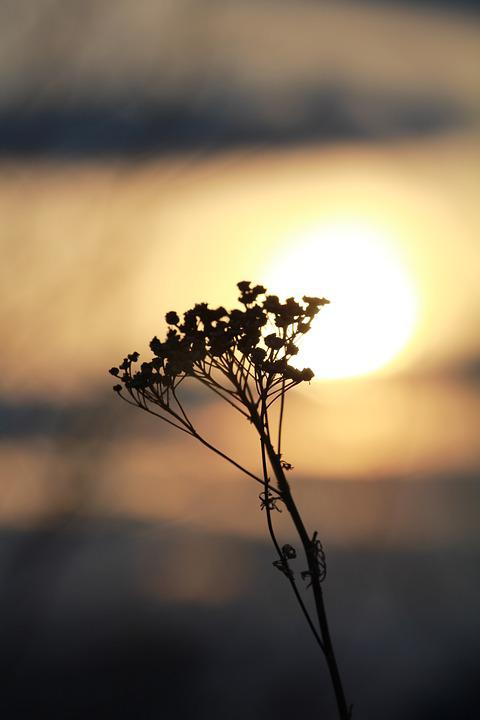 Sunset, Dry Flowers, Nature