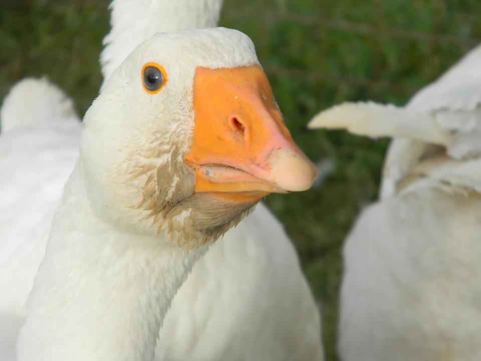 Duck, Nature, Bird