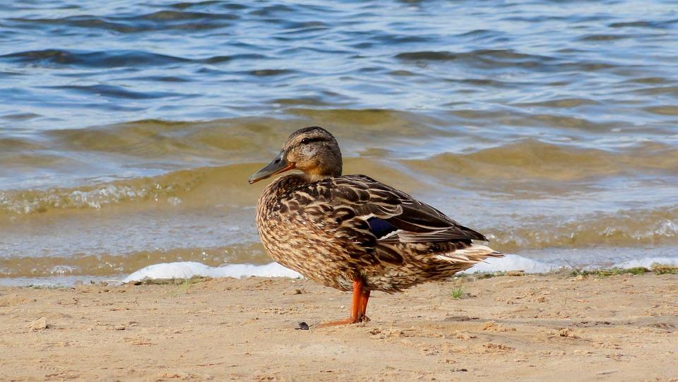 Duck Beach Water Lake Bird Nature Fauna