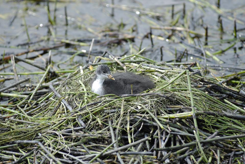 Nest, Duck, Birds, Nature, Lake, Bird, Animals