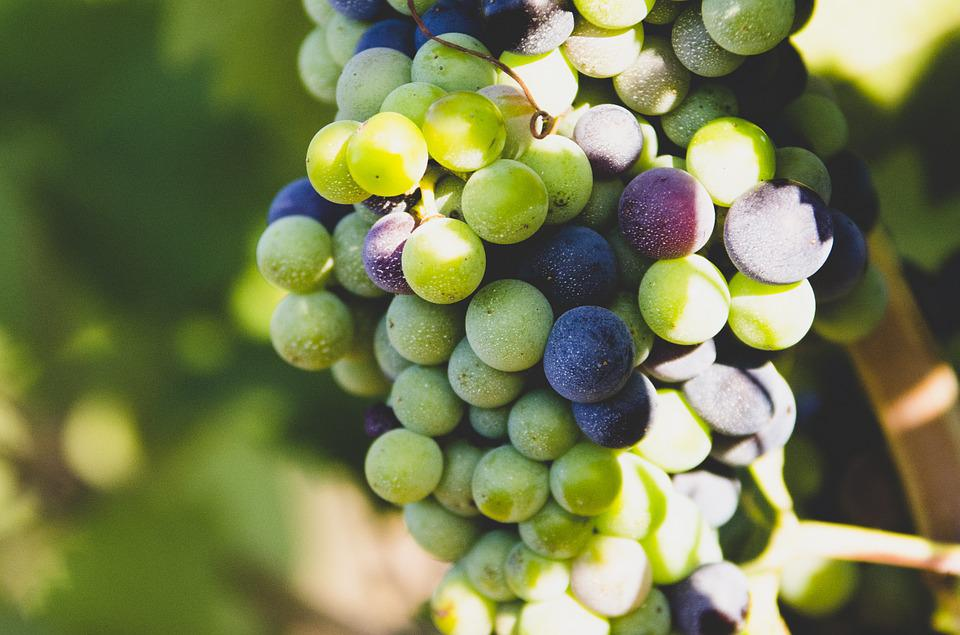 Grapes, Fruit, Nature, Wine, Vineyard, Grapevine, Earth