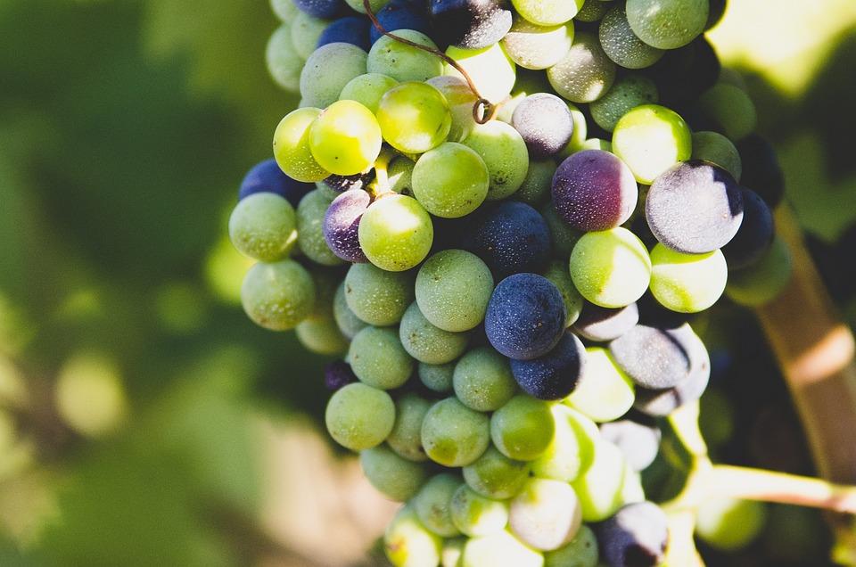 Grapes, Fruit, Nature, Wine, Vineyard, Grapevine, Earth