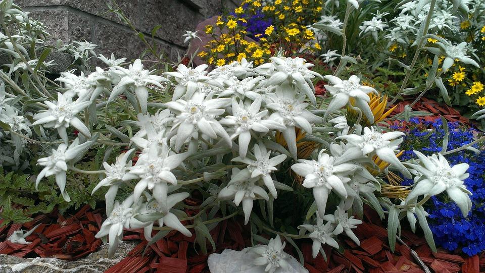 Edelweiss, Garden, Nature