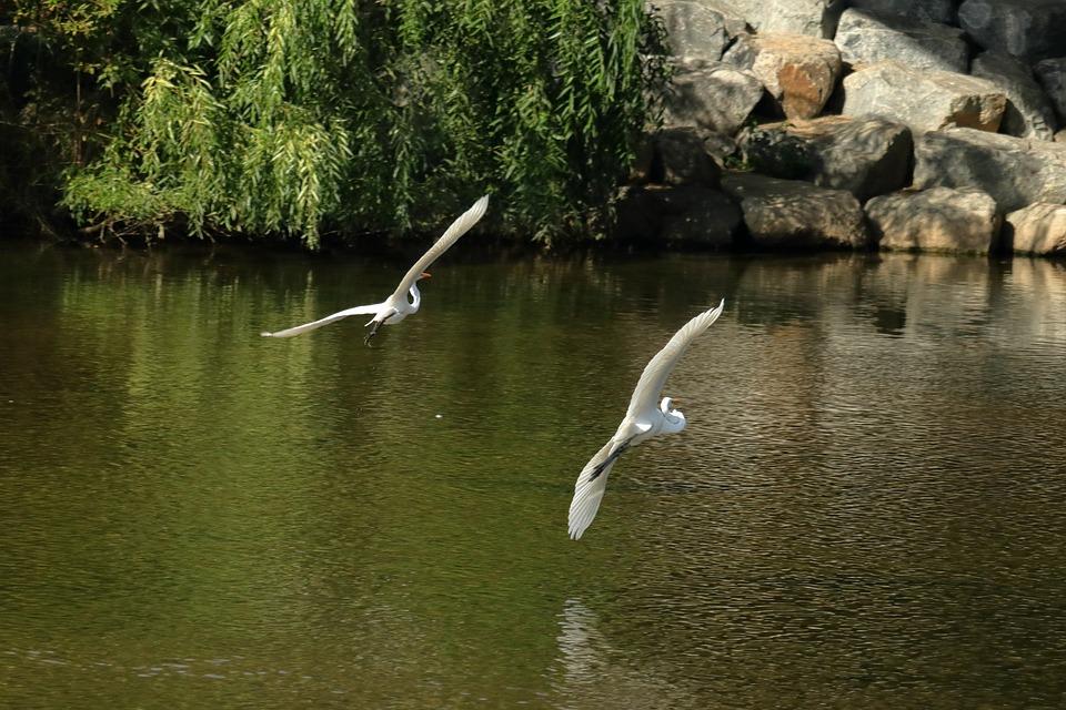 Bird, Egret, Flying, Heron, Nature, Feather, White