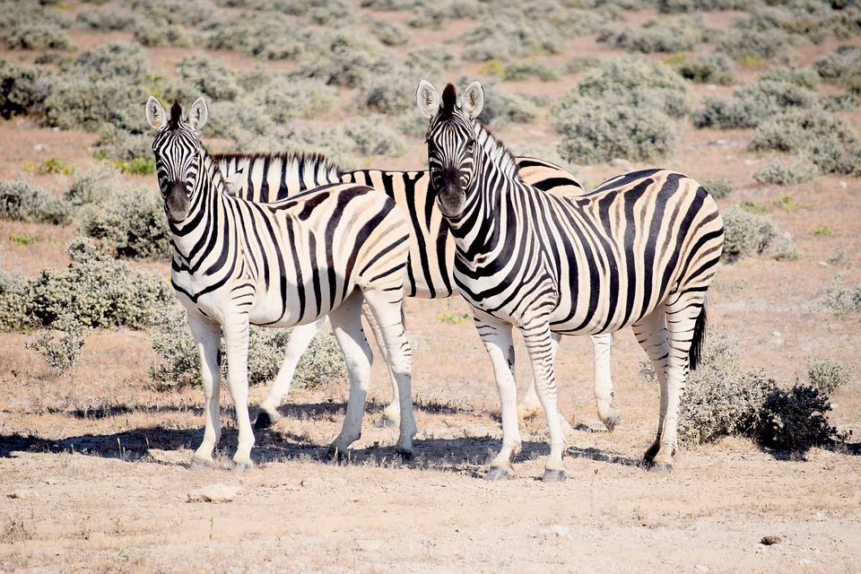 Zebra, Looking, Etosha, Namibia, Safaris, Wild, Nature