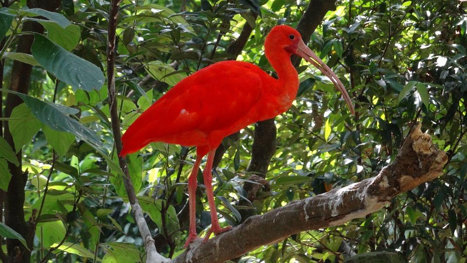 Ibis Szkarłatny, Eudocimus Ruber, Bird, Nature, Forest