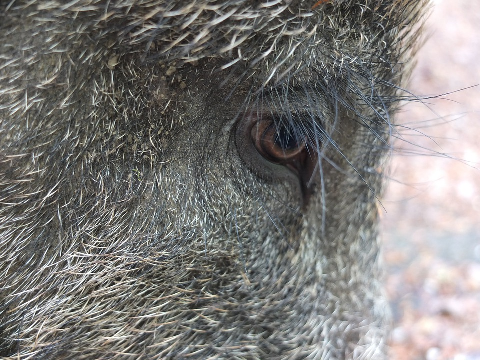 Free Photo Nature Eyelashes Bristles Pig Long Boar Animal Max Pixel