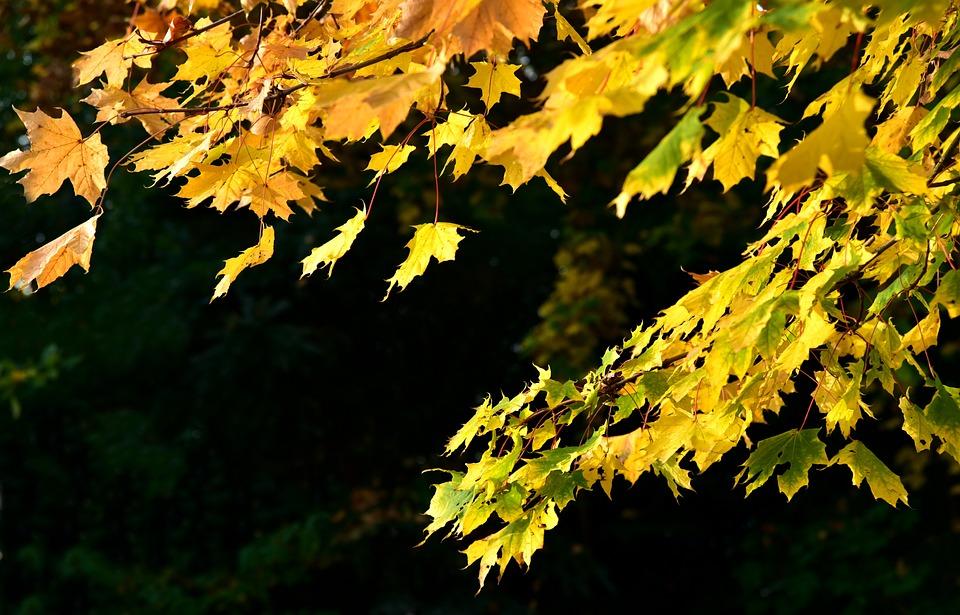 Leaves, Maple, Autumn, Leaf, Nature, Fall Foliage