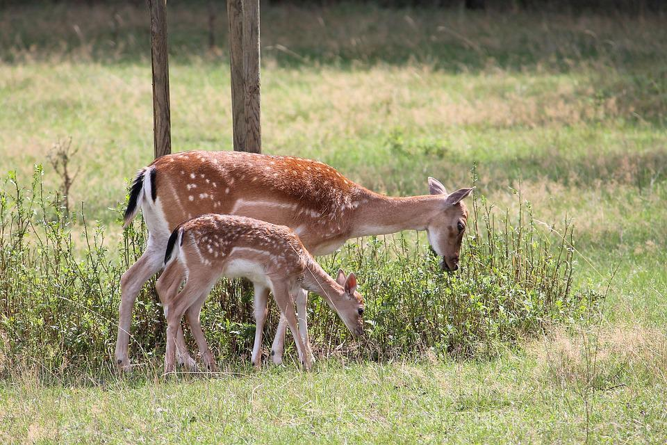 Roe Deer, Kitz, Fallow Deer, Nature, Forest