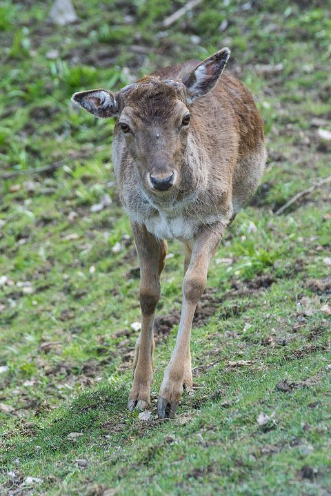 Roe Deer, Forest, Fallow Deer, Nature, Animal, Wild