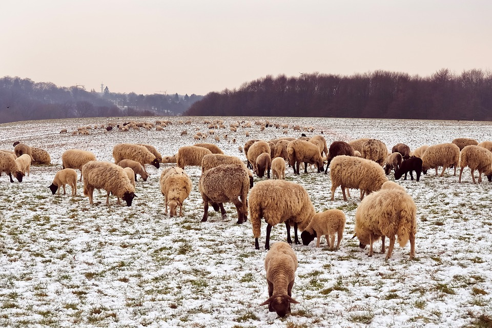Sheep, Animals, Lamb, Wool, Nature, Farm, Cattle