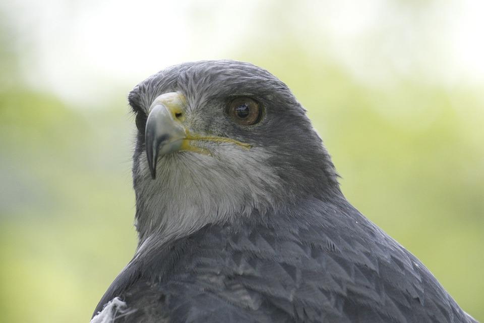Fauna, Bird, Raptor, Nature