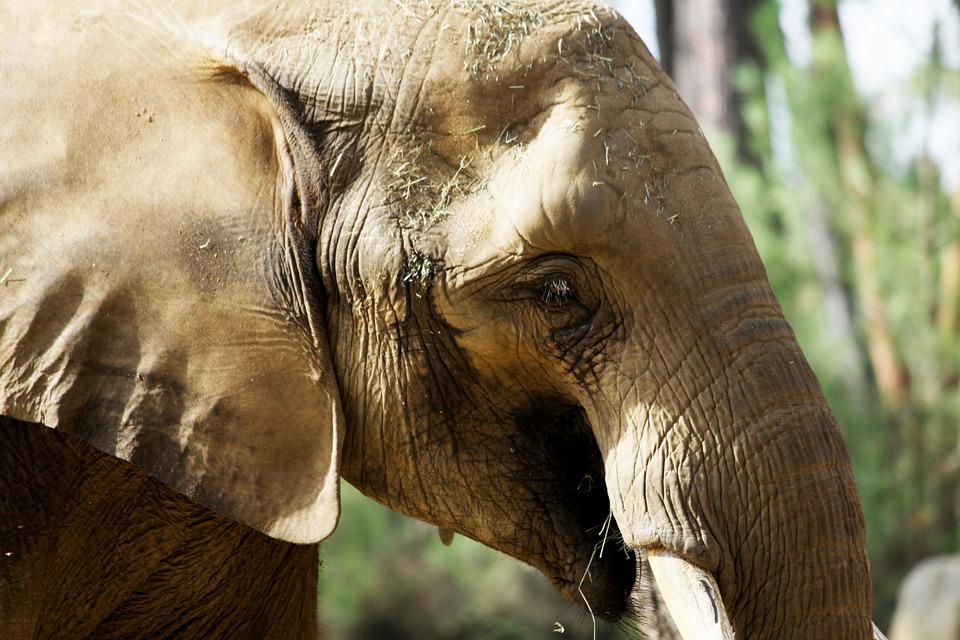 Elephant, Fauna, Nature, Animal