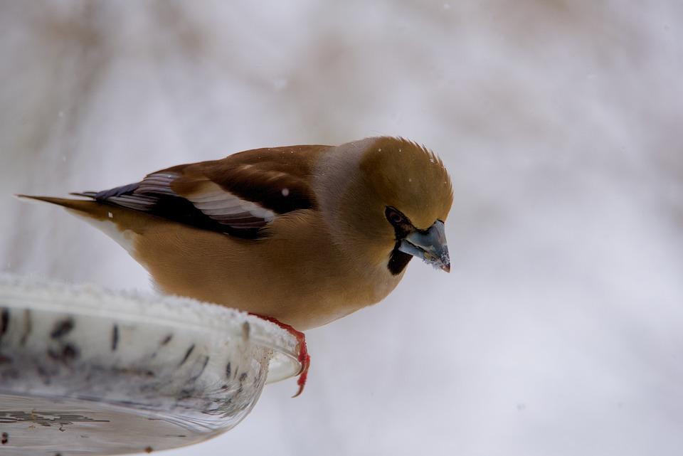Gros Bec Casse-core, Bird, Fauna, Nature
