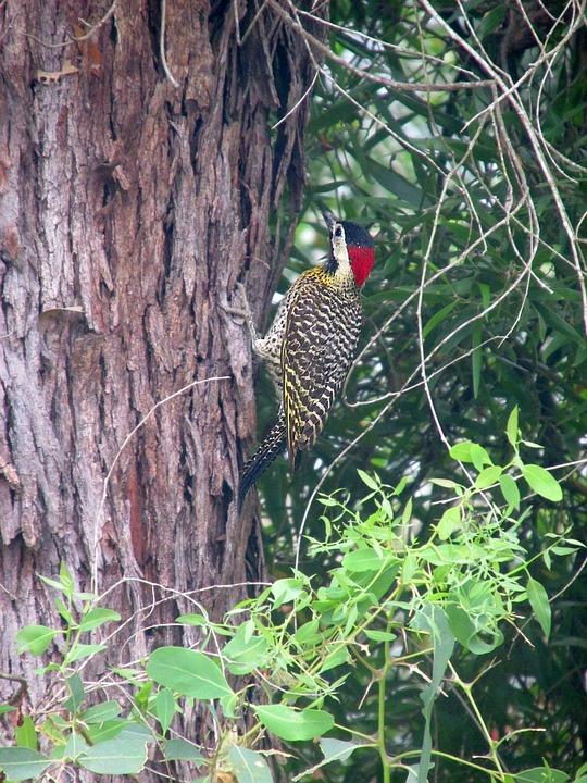 Woodpecker, Crazy Bird, Ave, Nature, Fauna, Bird, Peak