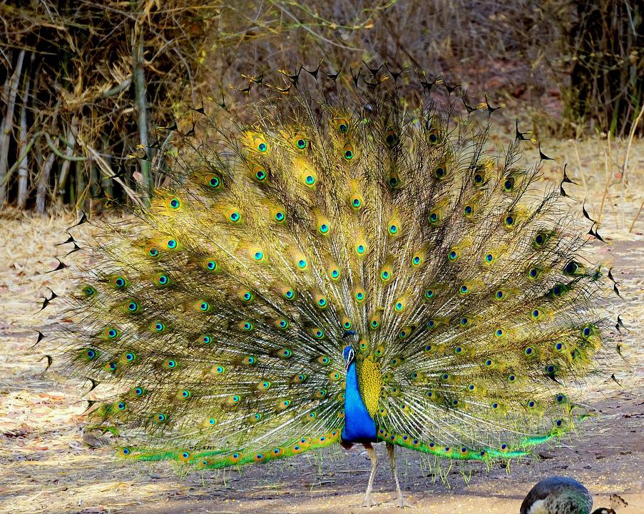 Peacock, Nature, Feather, Bird, Color