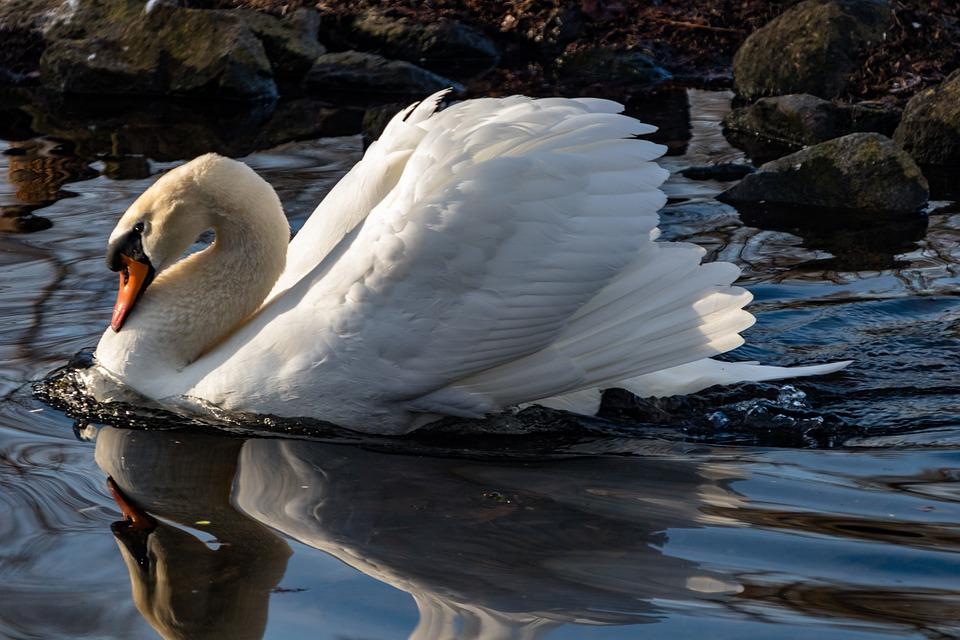 Waters, Bird, Nature, Animal World, Lake, Feather, Swan
