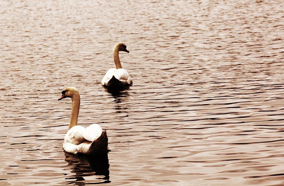 Birds, Swans, Nature, Animal, Wildlife, Feather, Wild