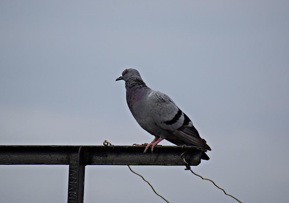 Pigeon, Bird, Nature, Dove, Animal, Wings, Feathers
