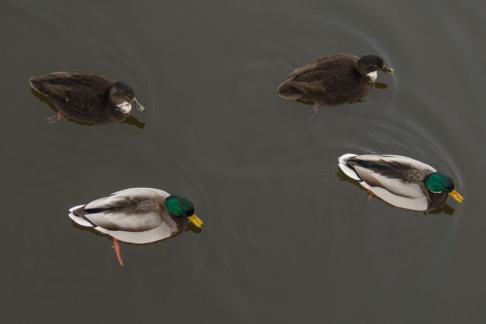 Ducks, Pond, Male, Female, Pattern, Symmetry, Nature
