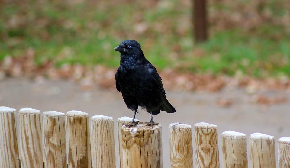 Crow, Fence, Black, Animal, Nature, Livestock, Birds