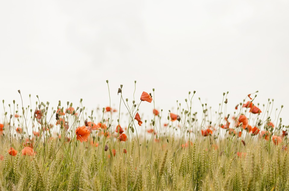 Bloom, Poppies, Blossom, Field, Flora, Flowers, Nature