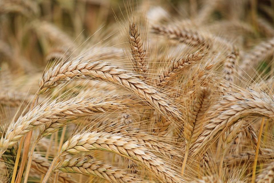 Spike, Barley, Cereals, Barley Field, Nature, Field