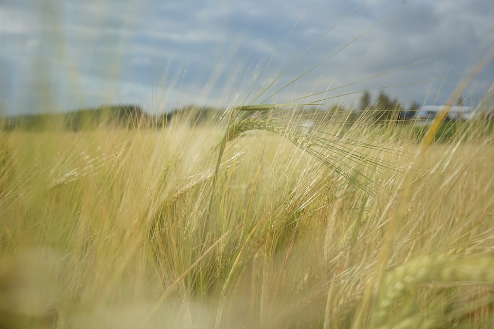 Barley, Field, Agriculture, Grain, Nature, Green