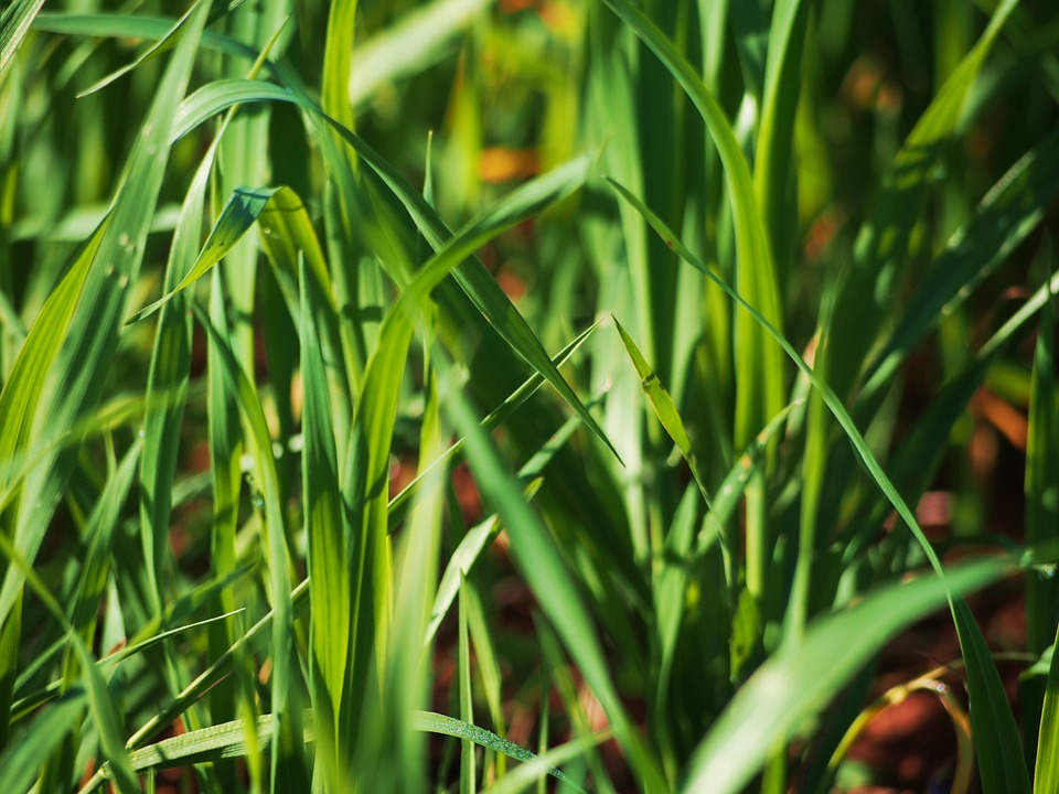 Grass, Green, Field, Meadow, Nature, Plant, Hairy