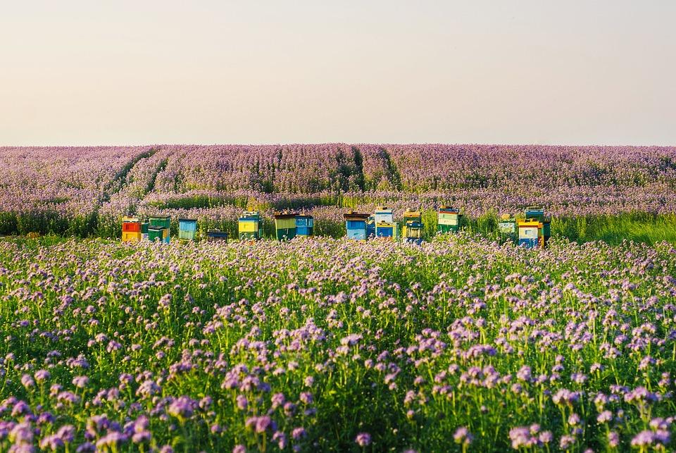 Facelia, Bees, Ule, Honey, Nature, Field, Wielkopolska