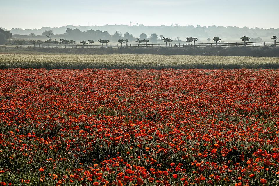 Mallorca, Nature, Field Of Poppies, Landscape, Flowers