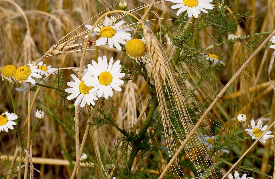 Flora, Summer, Blossom, Bloom, Nature, Plant, Field