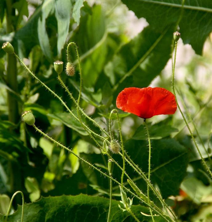 Poppy, Blossom, Bloom, Nature, Field, Red, Flower