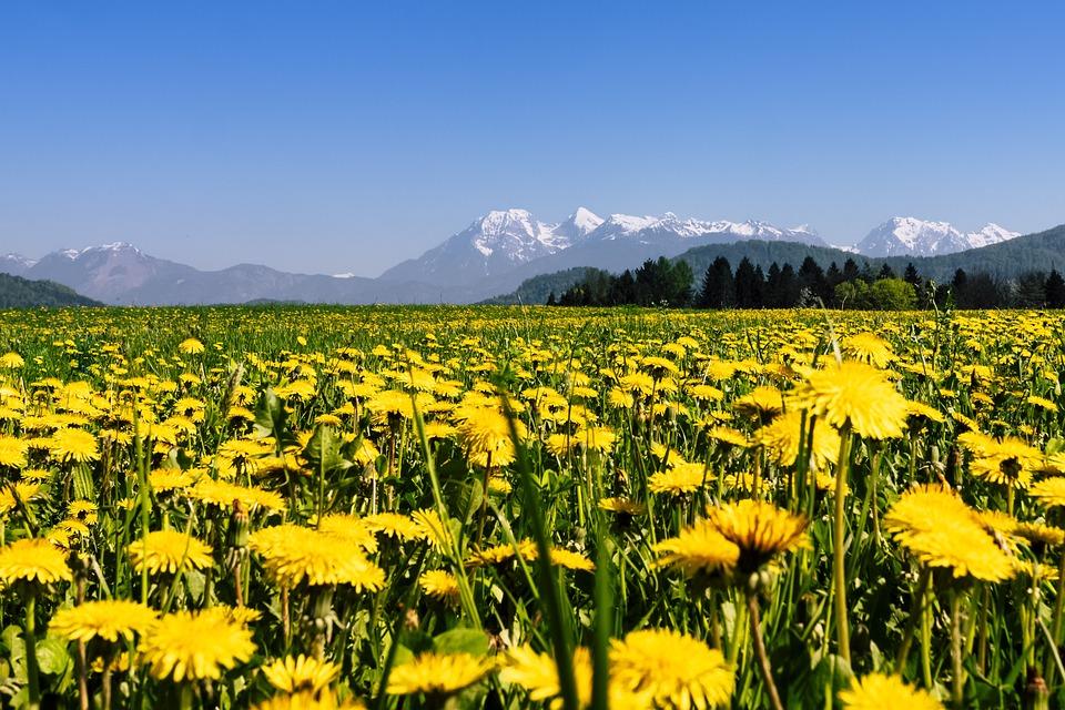 Nature, Hayfield, Summer, Grass, Field, Dandelion