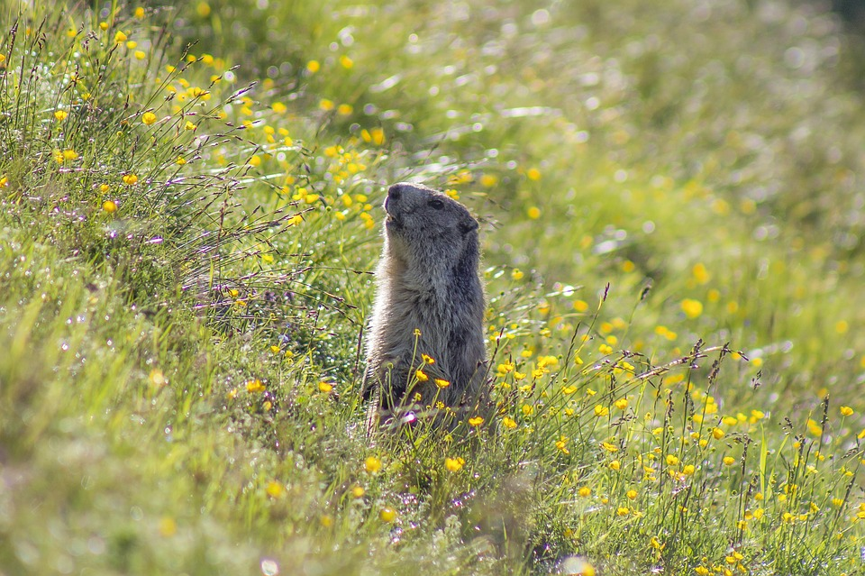 Marmot, Animal, Meadow, Field, Summer, Nature
