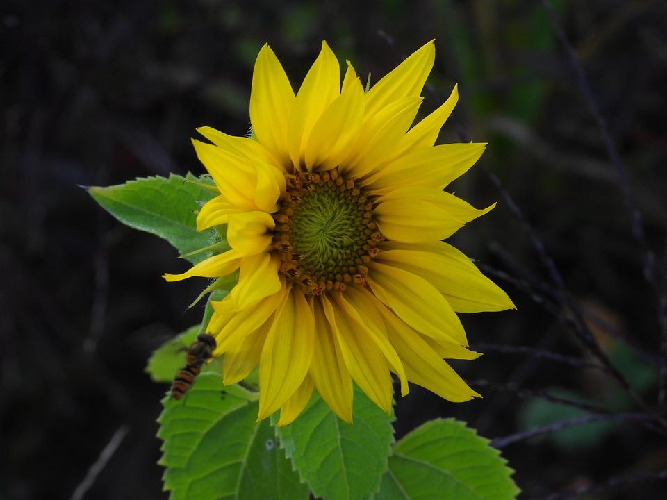 Sunflower, Field, Yellow, Plant, Figure, Nature, Sunny