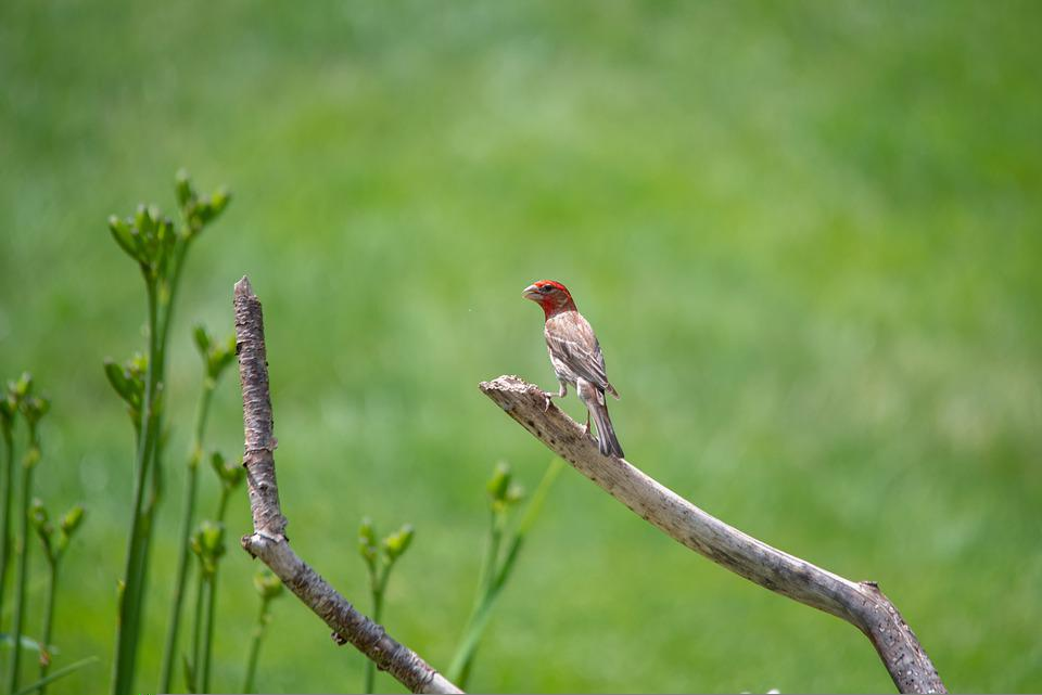 Bird, Finch, Nature, Red-headed Finch, Paradise Finch